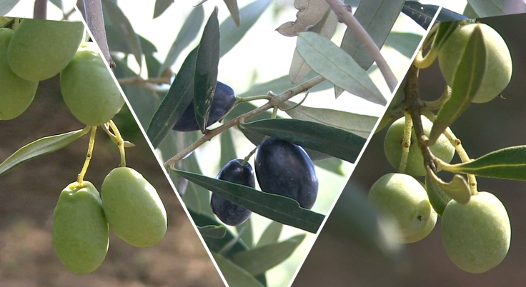 muntatge olives booo